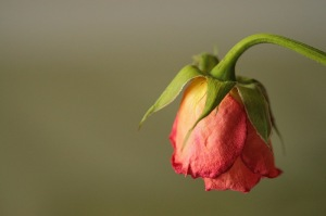 wilted-rose-jpg